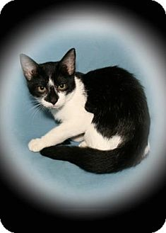 Domestic Shorthair Kitten for adoption in Bradenton, Florida - Tsunami