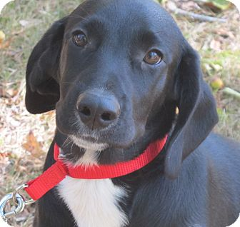 Labrador Retriever/Beagle Mix Puppy for adoption in Harrisonburg, Virginia - Astro
