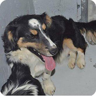 Australian Shepherd/Corgi Mix Dog for adoption in Midvale, Utah - peter