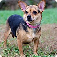 Chihuahua Mix Dog for adoption in Waldorf, Maryland - Katelyn