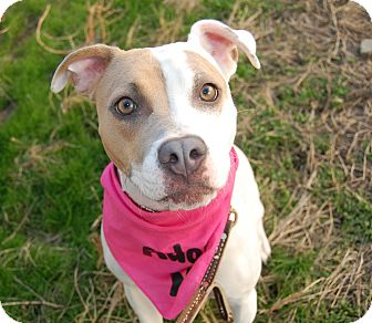 American Staffordshire Terrier Mix Dog for adoption in Wilmington, Delaware - Julianne