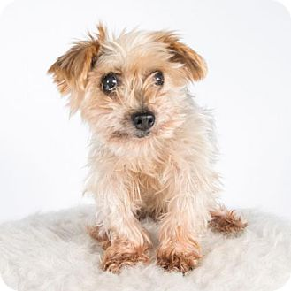 Yorkie, Yorkshire Terrier Dog for adoption in St. Louis Park, Minnesota - Axel