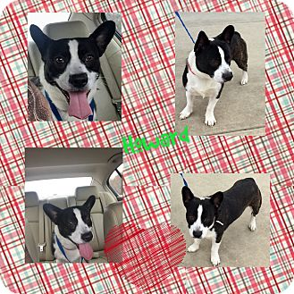 corgi boston terrier howard adopted dog kittery me corgi boston terrier mix 3737