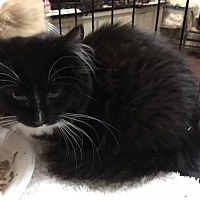 Maine Coon Kitten for adoption in Devon, Pennsylvania - Digger- Available 1-20