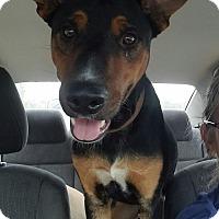 Doberman Pinscher/Hound (Unknown Type) Mix Dog for adoption in Greenville, North Carolina - Noah