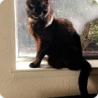 Adopt A Pet :: Bogie - Novato, CA
