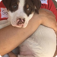Adopt A Pet :: Baby BamBam - Rockville, MD