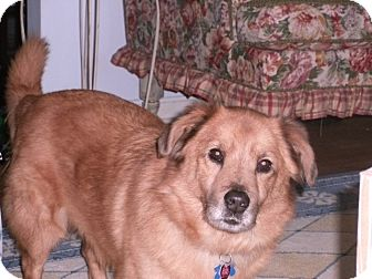Golden Retriever Mix Dog for adoption in Staunton, Virginia - Bennie