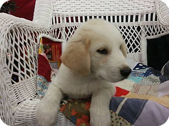 Beagle/Labrador Retriever Mix Puppy for adoption in Linton, Indiana - Logan