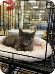 Russian Blue Kitten for adoption in Miami, Florida - Heather