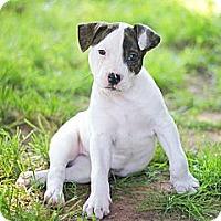 Adopt A Pet :: Drogo - Reisterstown, MD