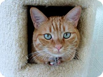 Domestic Shorthair Cat for adoption in Mountain Center, California - Reese