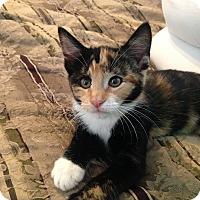 Adopt A Pet :: Pippa - St. Louis, MO