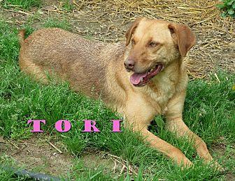 Labrador Retriever/German Shepherd Dog Mix Dog for adoption in Franklin, Tennessee - Tori