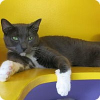 Domestic Shorthair Cat for adoption in Northbrook, Illinois - Marcus