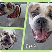 Adopt A Pet :: Paco - Santa Ana, CA