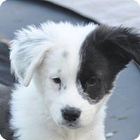 Adopt A Pet :: Leo - Tumwater, WA