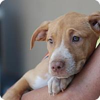 Adopt A Pet :: Blondie - Sunnyvale, CA