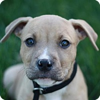 Adopt A Pet :: Boris - Adoption Pending - Nanuet, NY