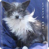 Adopt A Pet :: Little Man - Marlborough, MA