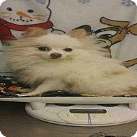 Adopt A Pet :: *POMIE - Upper Marlboro, MD