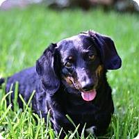 Adopt A Pet :: Snickers - Dallas, TX