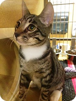 Domestic Shorthair Kitten for adoption in Lake Elsinore, California - Shilo