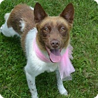 Cattle Dog Mix Dog for adoption in Enfield, Connecticut - Veronica