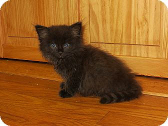 Domestic Longhair Kitten for adoption in Carlisle, Pennsylvania - GranthamPENDING