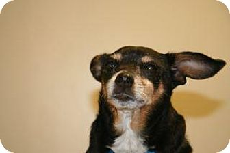 Chihuahua Mix Dog for adoption in Wildomar, California - Bailey