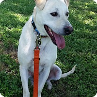 Labrador Retriever Mix Dog for adoption in Austin, Texas - Diaz