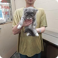Domestic Shorthair Kitten for adoption in Pikeville, Kentucky - Channing