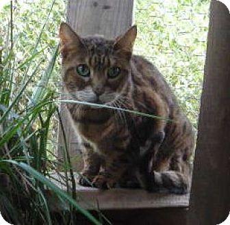 Bengal Cat for adoption in Dallas, Texas - Asia