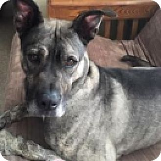 Mastiff Mix Dog for adoption in Green Bay, Wisconsin - Bandit