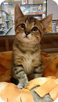 Domestic Shorthair Kitten for adoption in Warrenton, Missouri - Arianna