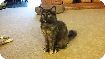 Domestic Longhair Cat for adoption in Fairmont, West Virginia - Cher