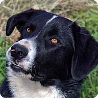 Border Collie Dog for adoption in Scottsdale, Arizona - Dexter