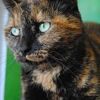 Domestic Shorthair Cat for adoption in Columbia, South Carolina - Natasha