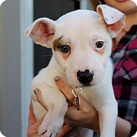 Adopt A Pet :: Dutch - Los Angeles, CA