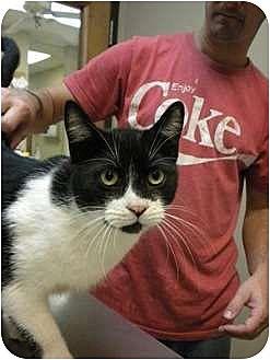Domestic Shorthair Cat for adoption in Baton Rouge, Louisiana - Simon