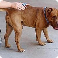 Adopt A Pet :: Knuckles sweet boy - Sacramento, CA