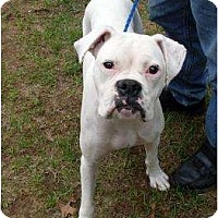 Adopt A Pet :: Lady Liberty - Harrison, AR