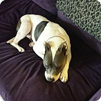 American Pit Bull Terrier Mix Dog for adoption in Berkeley, California - Bruno