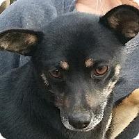 Adopt A Pet :: Gigi - Spring Valley, NY