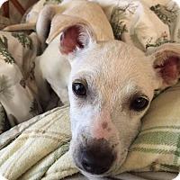 Adopt A Pet :: Flynn (CK) - Tampa, FL