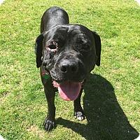 Cane Corso/Mastiff Mix Dog for adoption in Alton, Illinois - Ramona