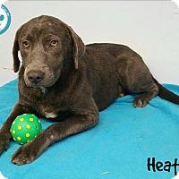 Adopt A Pet :: Heather - Kimberton, PA