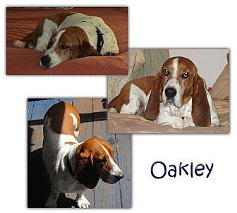 Basset Hound Mix Dog for adoption in Marietta, Georgia - Oakley