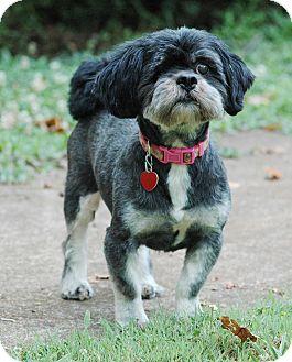 Shih Tzu Dog for adoption in Lawrenceville, Georgia - Sebastian