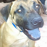 Black Mouth Cur/German Shepherd Dog Mix Dog for adoption in Peoria, Arizona - Cooper
